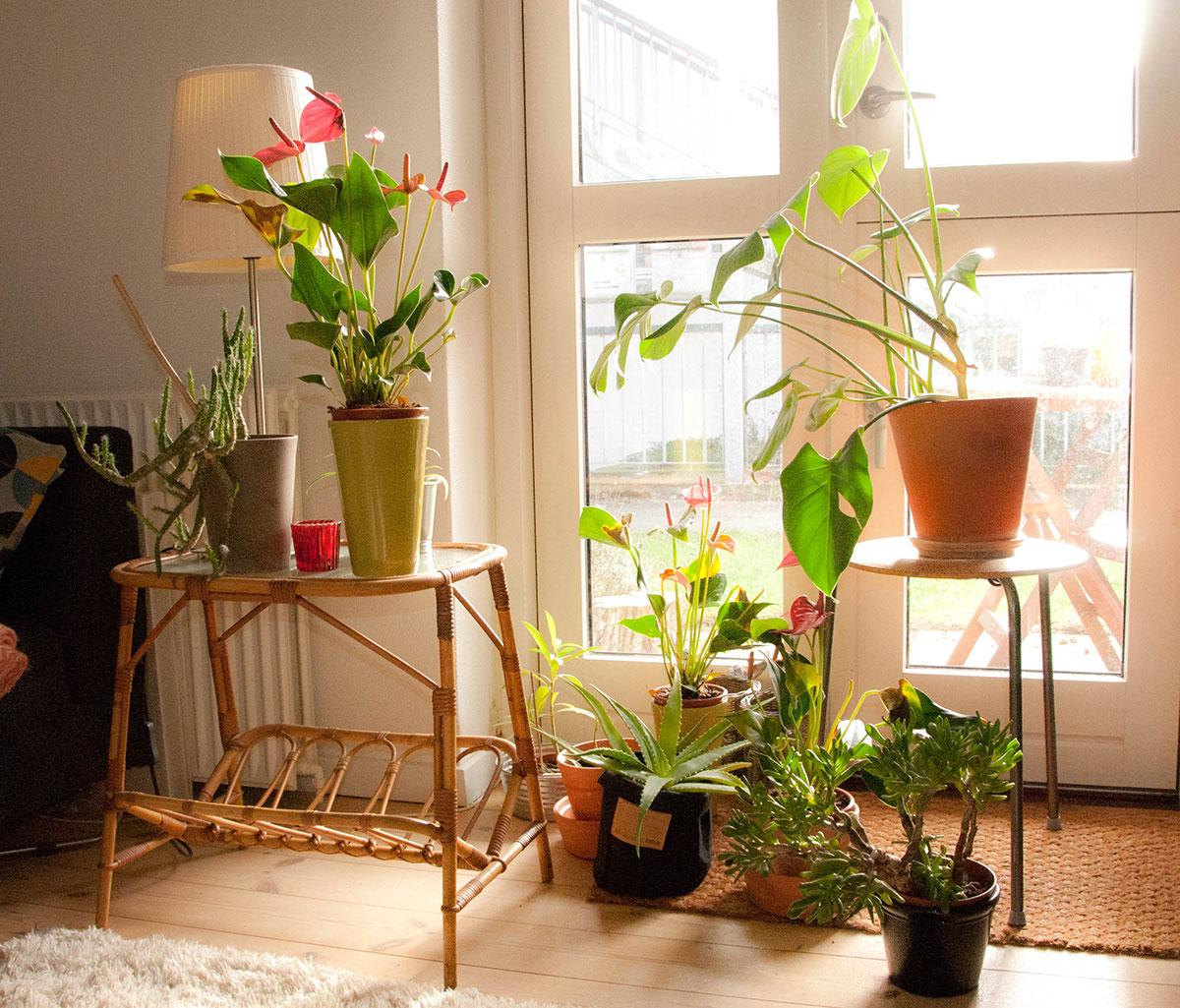 Min flydende gødning til stueplanterne er bokashivæske