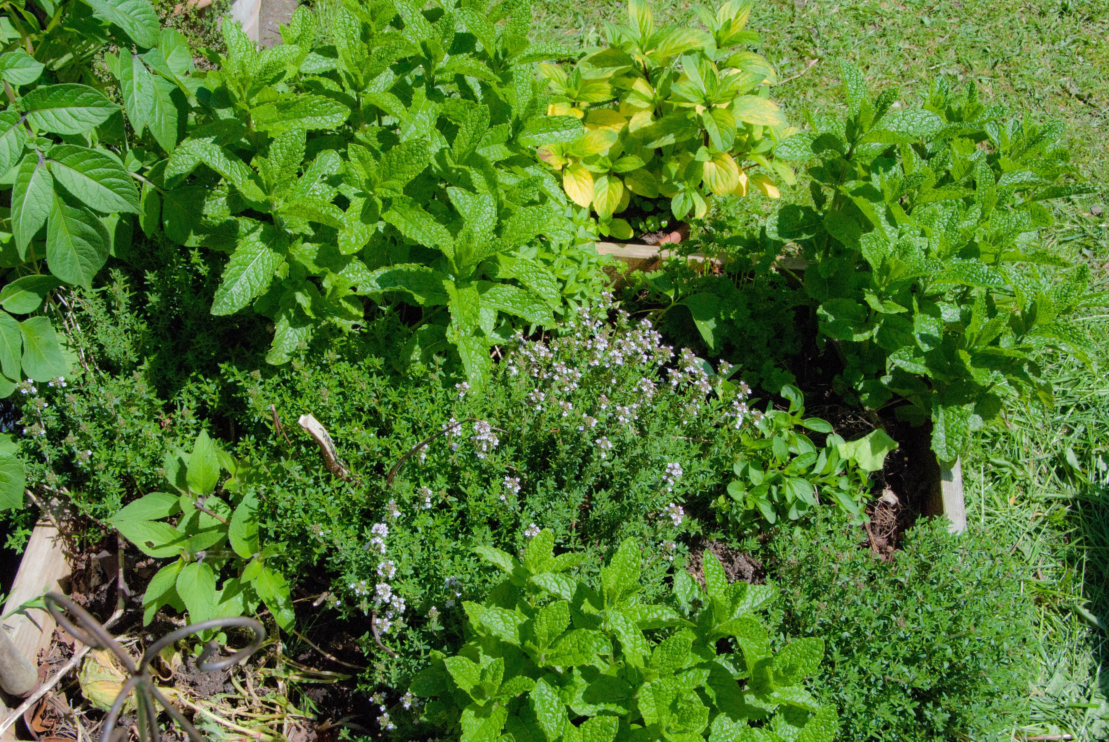 Krydderurter i haven