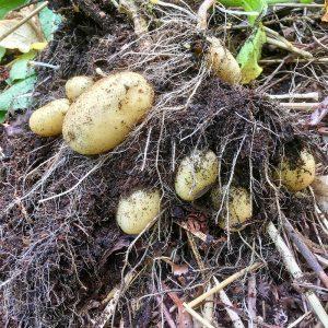 Kartofler fra højbedet