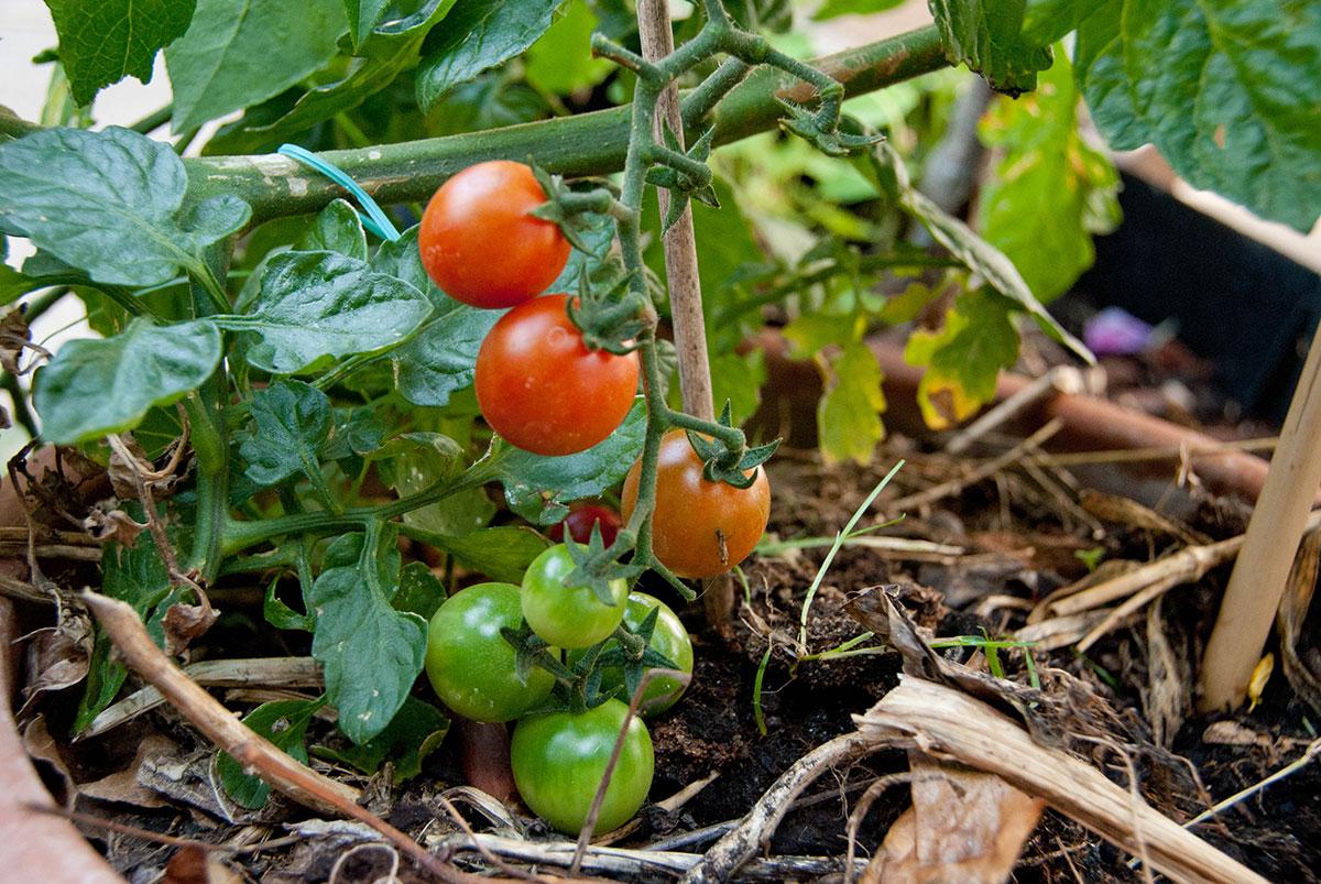Tomater. Foto Byhaver.dk